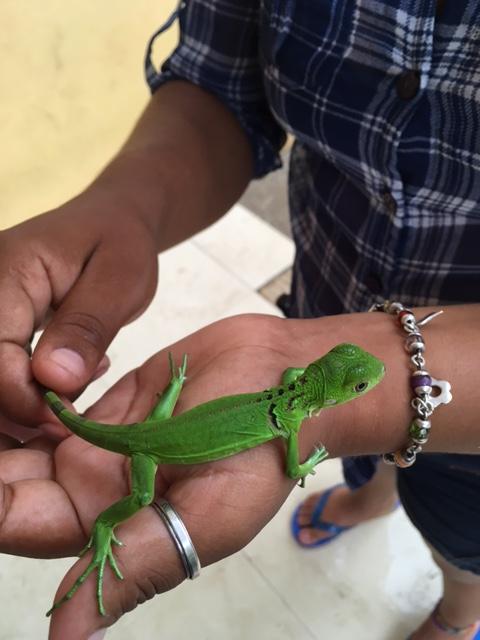 Schlechter_Mexico_Lizard