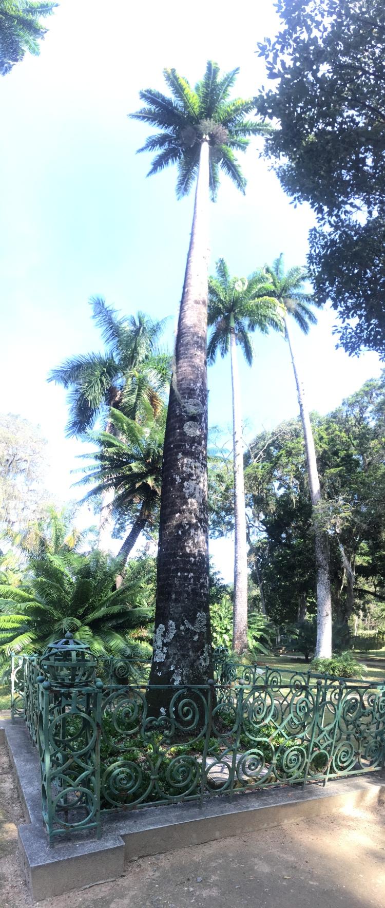 Fan_Brazil_Palm